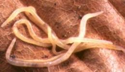 potworms_e_doerjesi